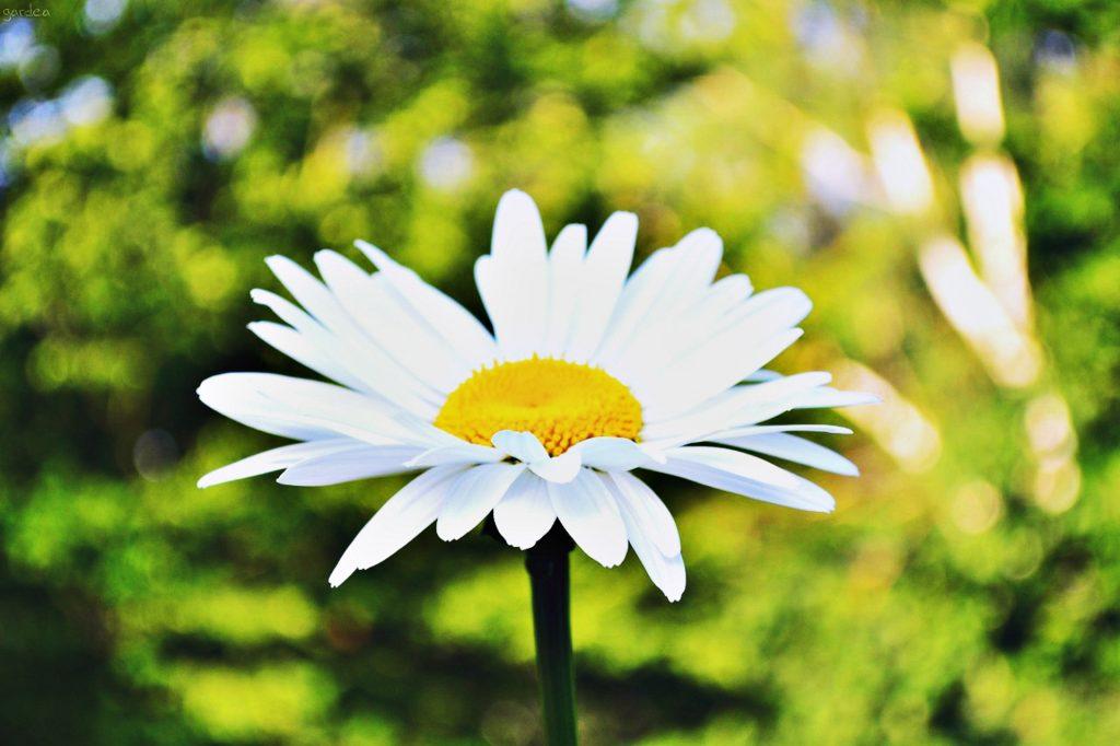 daisy-912144_1920